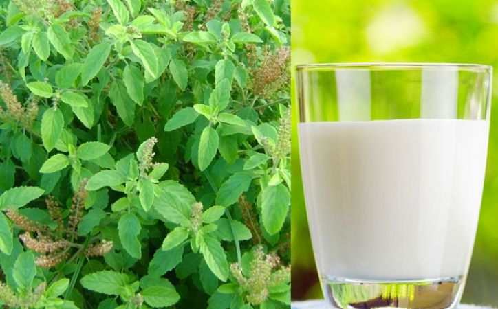Drink Milk with Tulsi leaves make you a migraine free | News Track ...