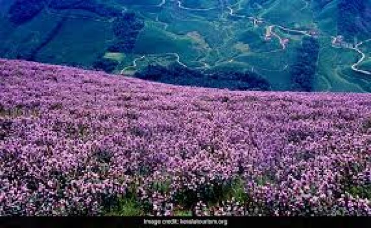 Munnar: Nature plays its magic wand once in 12 years