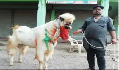 Man purchased unique goat weighs 160 kg on Bakrid