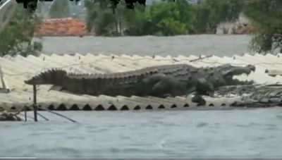 VIDEO:  Floods disrupts not only human but wild life too, Here's How A Crocodile Saved It's Life