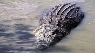 Madhya Pradesh: Crocodile enter village with flood water in Mandsaur