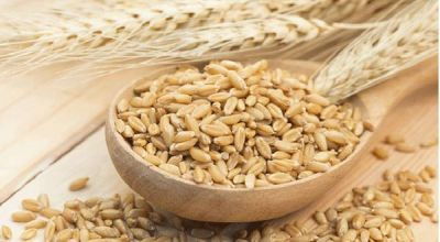 Indian wheat quality not improving