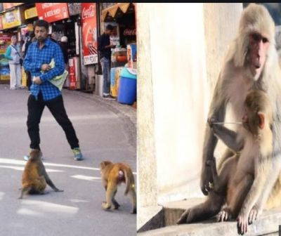Shimla: This terrible disease found in monkeys due to biological changes