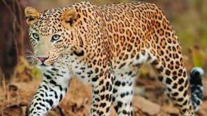 सीधी जिले में एक और दुखद हादसा, तेंदुए ने 12 वर्ष की मासूम को बनाया अपना शिकार