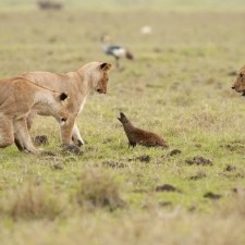Mongoose Takes On Four Lions, Video Goes Viral