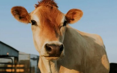 Doctors who performed 4-hour surgery said 21 kg plastic removed from cow's stomach!