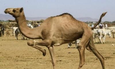High Court orders to ban camel sacrifice on Bakrid
