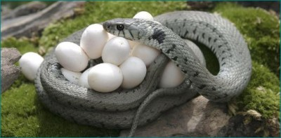 Surprising: 40 snakes and 90 eggs from a house, everyone stunned