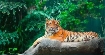 CM Shivraj on World International Tiger Day: 'Madhya Pradesh will save tiger and increase too'