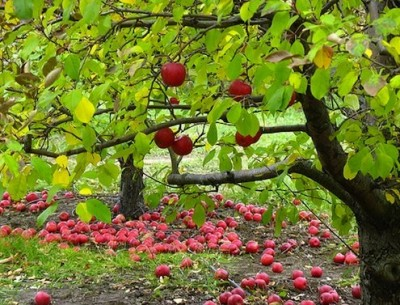 Now apples can be grown all over India, reports