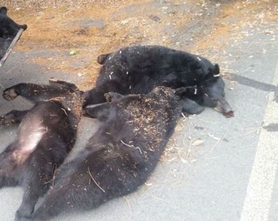 Three bears killed in Kanker due to electric shock