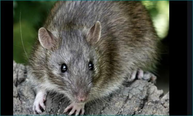 इंदौर: पोस्टमार्टम से पहले ही शव को चूहों ने कुतरा