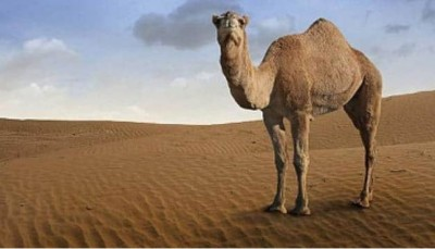 Camel's antibody effective in corona treatment, research going on!