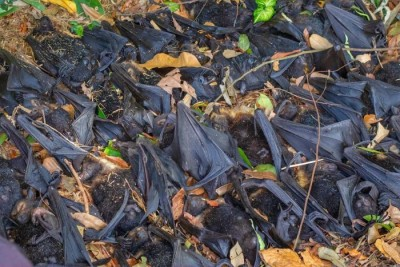 Thousands of bats died in Madhya Pradesh