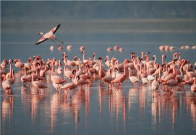 सांभर झील में हजारों प्रवासी पक्षियों की रहस्यमयी मौत, कारण खोजने में जुटा प्रशासन