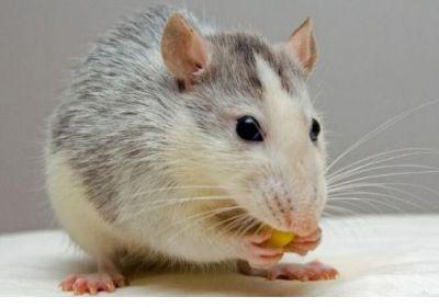 एक चूहे के कारण धूं-धूं होकर जल गया घर, जानिए कैसे?
