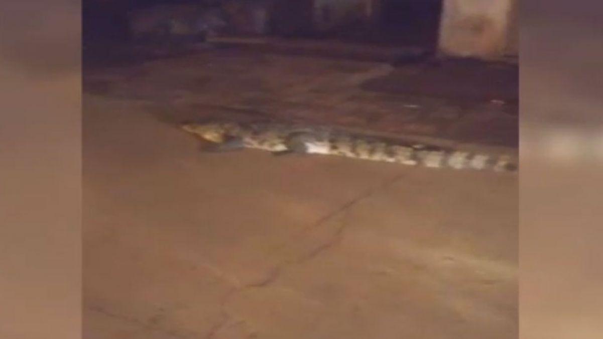 Madhya Pradesh: Crocodiles caught crawling in the road rain in Shivpuri
