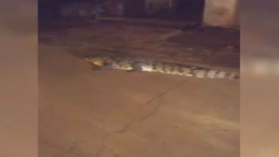 Madhya Pradesh: Crocodiles caught crawling in the road rain in Shivpuri