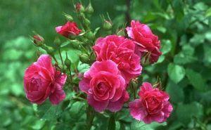 गुलाब का फूल और कपूर का टुकड़ा बनायें धनवान