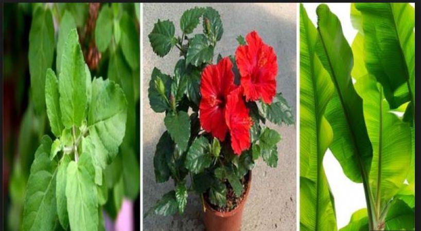 घर में लगा लें यह पौधा, सुख-शान्ति के साथ बरसेगा पैसा