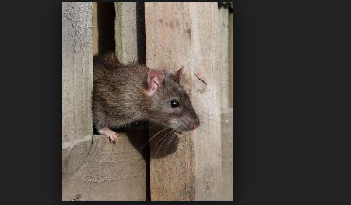 अगर आपके घर में भी आते हैं चूहे तो आपके लिए ही है यह खबर...