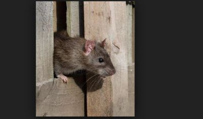 If rats come to your home then this news is only for you to know...