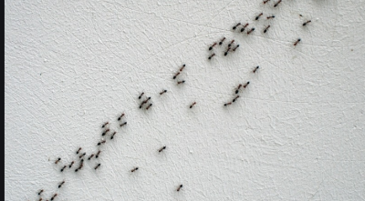 Follow these two home remedies to keep ants away