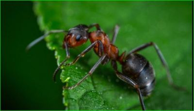 Know what the black and red ants indicate in your house