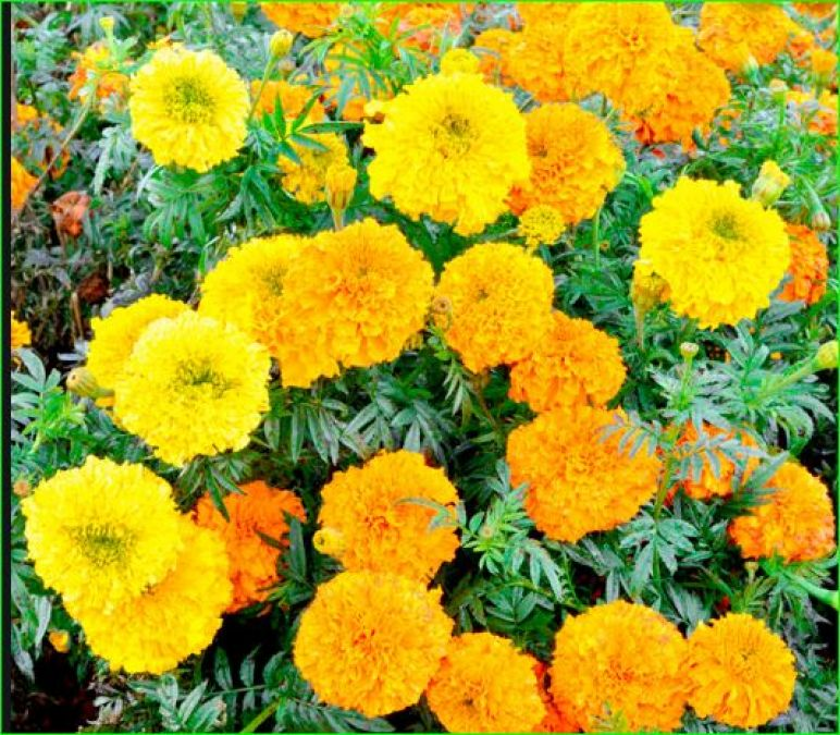 Because of this, marigold flowers are used for every auspicious work at home