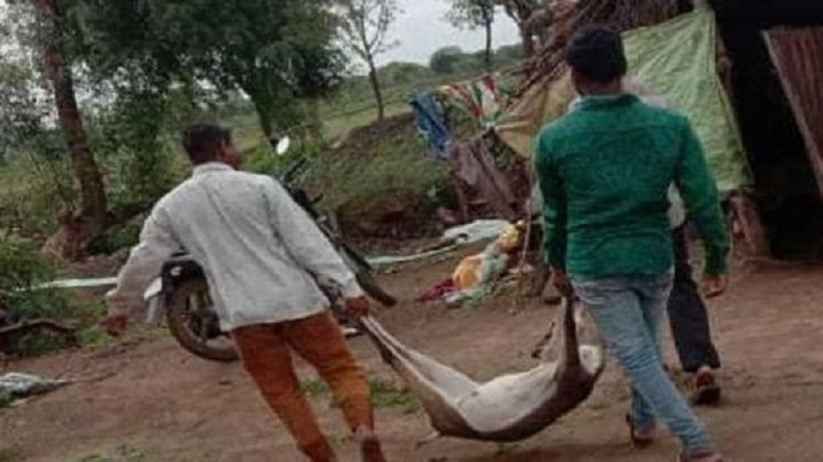 Two arrested with weapons for hunting black deer in Maharashtra