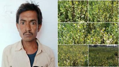 Opium cultivation in mustard field, STF arrested