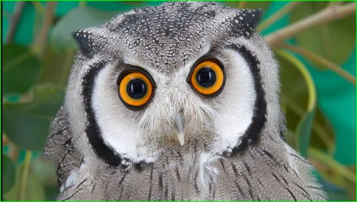 Smuggling of owls for Diwali and Tantra-Mantra is worth more than 1 crore