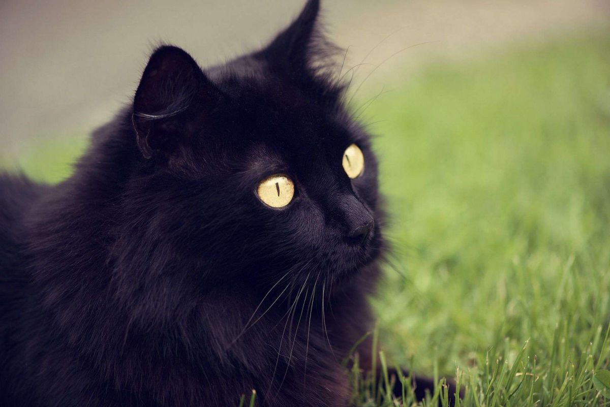 If you dream a cat of this colour then you are soon going to be rich!