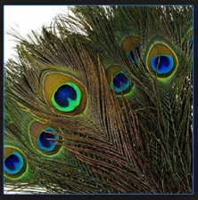 Peacock Feather use can improve your bad luck condition; know how to use it, here