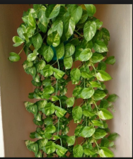 If you have planted Money Plant in the house then must be aware of these Pros-cons