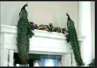 Use Peacock Feather in these ways to enhance your fortune