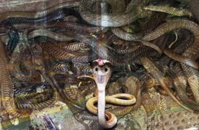 Shocking! Before Nagpanchami, snake wrapped on Shiva temple and Shivling