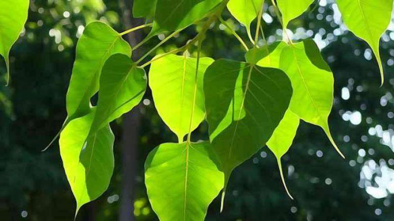 हफ्ते में इस दिन पीपल का पेड़ छूने से मिलेगा लाभ