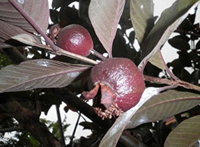 Have you ever seen black guava, See here