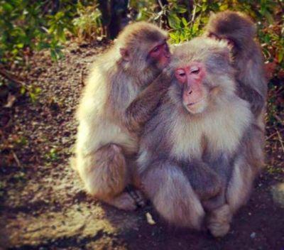 Japanese Zoo Had Euthanised  57 Snow Monkeys