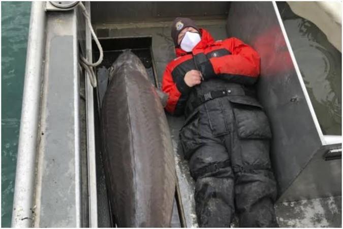 अमेरिका में नदी में पकड़ी गई 108 किलो वजनी लंबी मछली, तस्वीरें हुई वायरल
