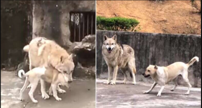 Strange Love Story of Wolf and Dog; viral video inside