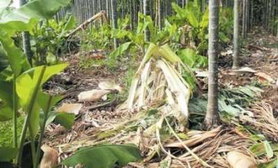 Elephants destroy banana garden but leave plant with nest unharmed