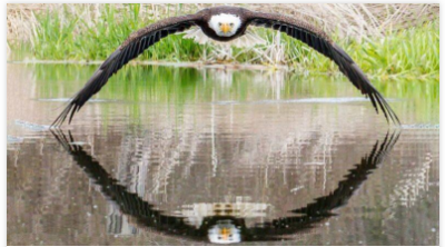 Perfect symmetrical photo capture of Bold eagle and pic goes viral