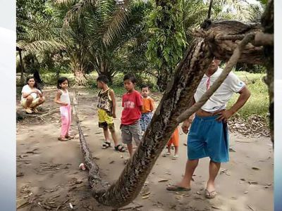 A huge Python found in the village of Indonasia