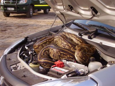 Python Found in Car's Bonnet Left People In Shock