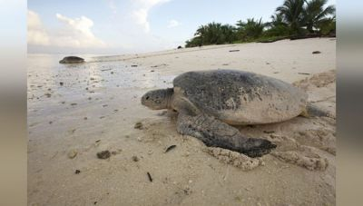 This Jumbo Turtle On A Beach In Florida Will Drive You Crazy!
