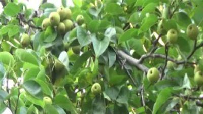 झारखंड: नाशपाती की बम्पर उपज से गदगद हुए किसान, सरकार ने दिलाया था प्रशिक्षण