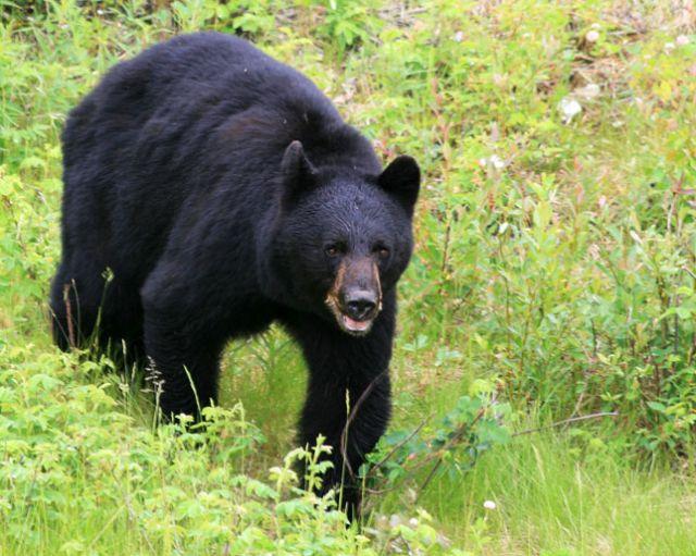 स्कूल में भालू का आतंक, 26 बच्चे घायल