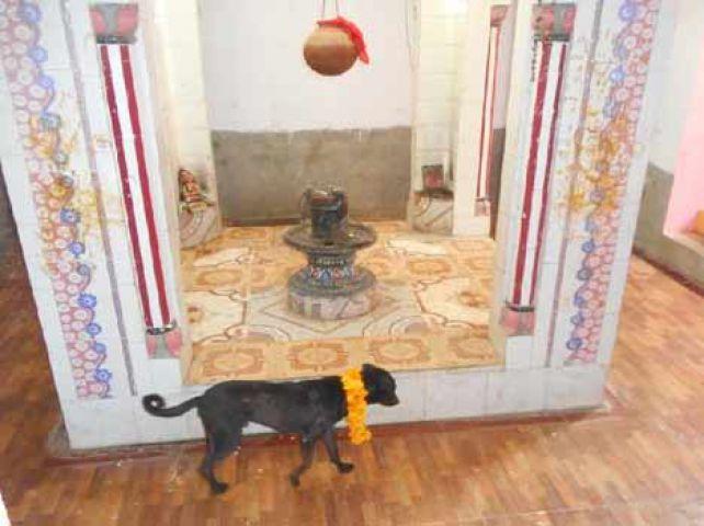 45 घंटे से कुत्ता कर रहा भगवान शिव की परिक्रमा
